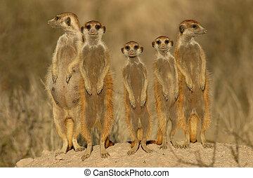 suricate, rodzina