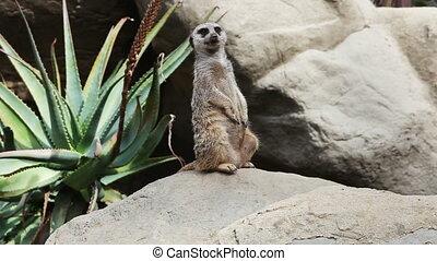 suricate standing and looking around - The Meerkat or...