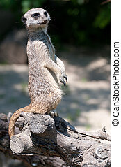 Suricate standing on an old tree