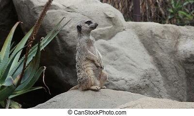 Suricate standing upright, watching - Meerkat suricata...