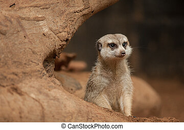 suricate,  suricatta),  (suricata, liten, eller,  Meerkat