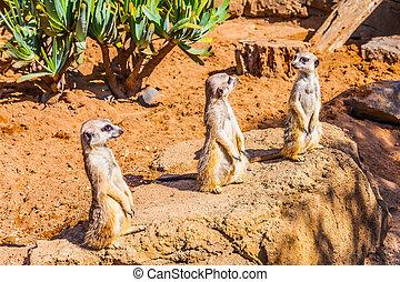 surikata, charmerende, mongoose