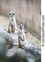 Surikate or Meerkat standing upright as Sentry