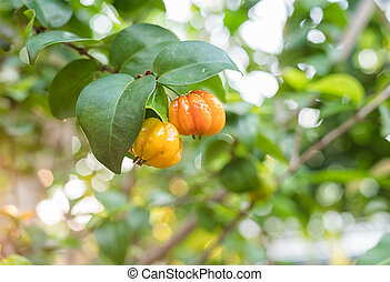 Surinam Cherry,Tropical fruit Pitanga, Brazilian Cherry