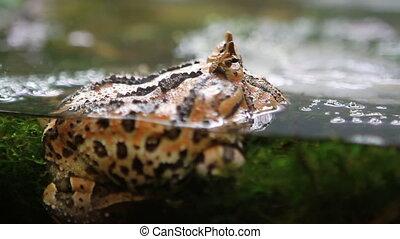 Surinam Horned Frog - Surinam horned frog (Ceratophrys...