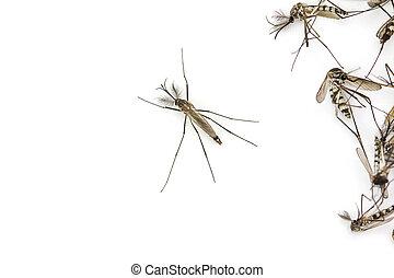 surmontez, isolé, fond, moustique, fin, blanc, vue