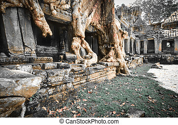 surprenant, arbres, cambodge, siem, récolter, wat angkor