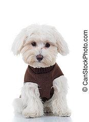 surprised bichon puppy sitting