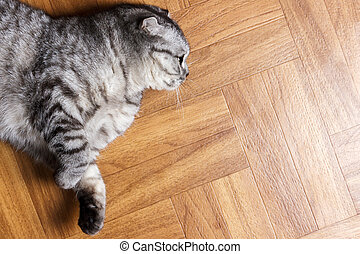 Surprised Cat lying on the floor, close up. British cat lying on the floor with copy space