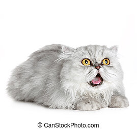 Surprised Siberian cat lies on a white background