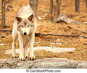 Surprised Young Wolf