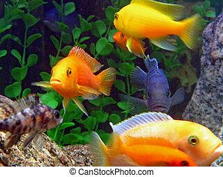 surtido, pez, acuario