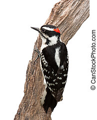 Suspicious Woodpecker - A suspicious woodpecker clings to a...