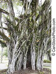 suva, arbre ville