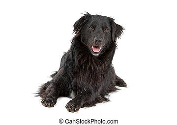 svart, blandad ras, hund