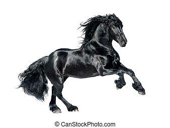 svart, friesian, häst, isolerat, vita, bakgrund