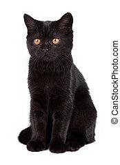 svart katt, isolerat, vita