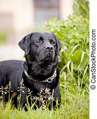 svart,  labrador,  retriever