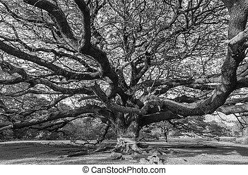 svartvitt, gigant, träd