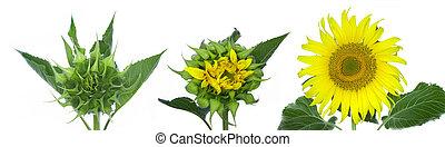 sviluppare, agiant, russiansunflowers, fullblossom., cominciando, germoglio