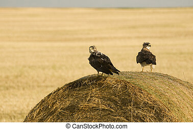 Swainson Hawks on Hay Bale after storm Saskatchewan
