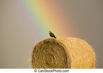 Swainson Hawks on Hay Bale after storm Saskatchewan Rainbow...