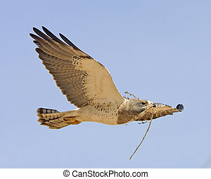 Swainsons Hawk - Buteo swainsoni - carrying nesting material...