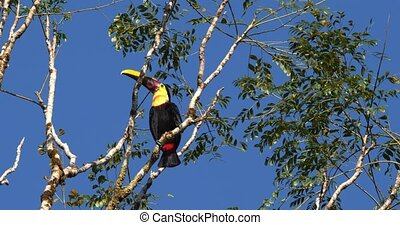Swainson's Toucan In A Tree, Costa Rica