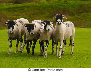 Group of four swaledale sheep taking part in the Patterdale Dog Show 2017 in the Lake District, England