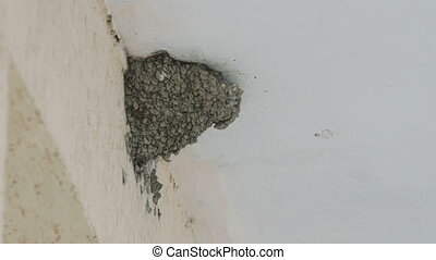 Swallow bird mud nest under eaves of house