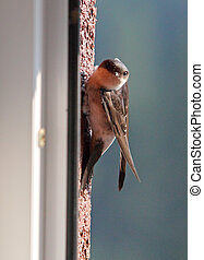 Swallow - bird on outdoor