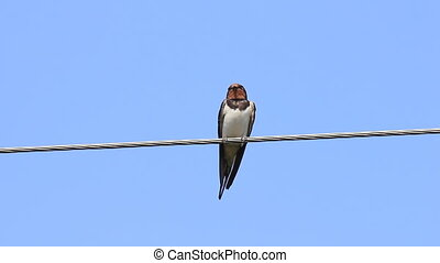 Swallow bird sit on cable - Swallow bird sit on electricity...