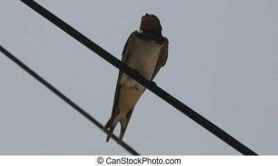 Swallow bird sitting on a wire closeup