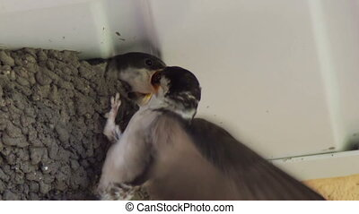 Swallow chicks in the nest. Swallow feeding chicks. - Clay...