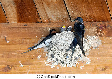 swallow feeding baby