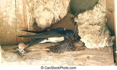 Swallow flies and building a nest