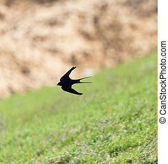 Swallow in flight in nature