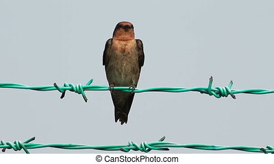 Swallow On The Fence - Little Swallow bird on the fence in...