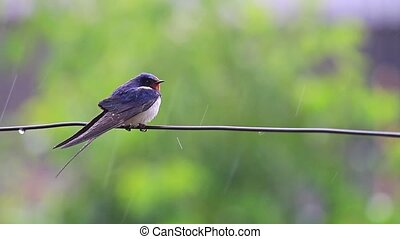 swallow on the wire in the rain,summer, summer rain, wet...