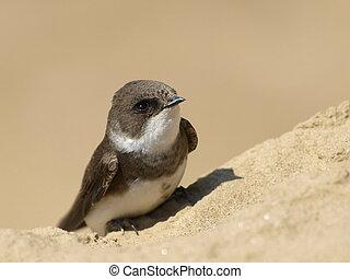 swallow Sand Martin, riparia ripari