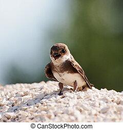 Swallow Sand Martin riparia riparia