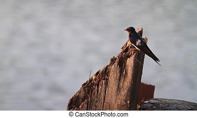 Swallow sings on a wooden pole on the riverbank, seasonal...