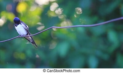 swallow sitting on a wire,bird,wild bird,birdwatching,bright...