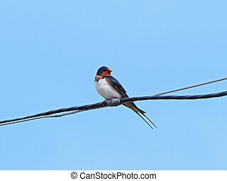 Swallow sitting on an electric wire on blue sky background
