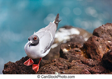 Swallow-tailed gull endemic to the Galapagos islands, Ecuador
