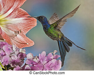Swallow-tailed Hummingbird - A beautiful The Swallow-Tailed...