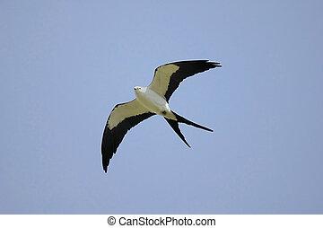 Swallow-tailed Kite (Elanoides forficatus) in flight hunting...