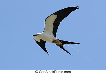 Swallow-tailed Kite (Elanoides forficatus) in flight with nesting material in the Florida Everglades