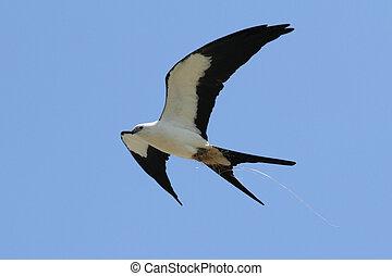 Swallow-tailed Kite (Elanoides forficatus) in flight with...
