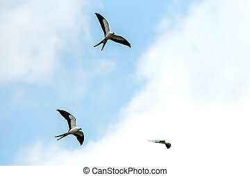 Swallow-tailed kites hunting over Everglades National Park.